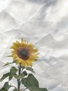 ひまわりの写真・画像素材[3393968]