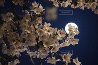 自然,風景,空,花,春,桜,屋内,ピンク,サクラ,月,草木,桜の花,さくら,ブルーム,ブロッサム,月と桜