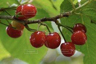 枝の上の果物のクローズアップの写真・画像素材[3466391]