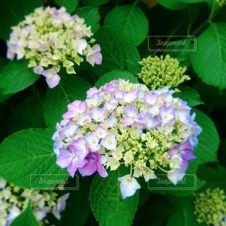 紫陽花の写真・画像素材[3407559]