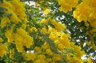 春色のミモザの写真・画像素材[4309734]