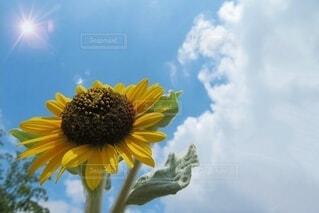真夏の向日葵🌻の写真・画像素材[4695317]