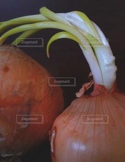 発芽した玉ねぎの写真・画像素材[3511855]