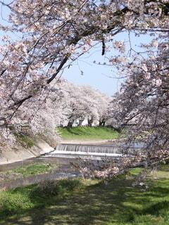 満開の桜がキレイの写真・画像素材[4314937]