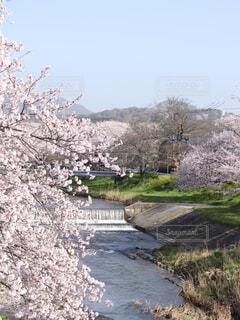 河川敷の桜の写真・画像素材[4314938]