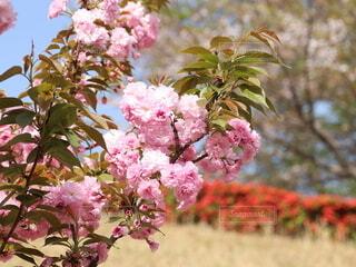 桜のクローズアップの写真・画像素材[4336739]