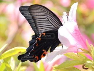 一輪のツツジにアゲハチョウの写真・画像素材[4349572]