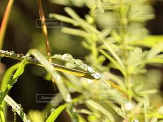 草のしずくが輝くの写真・画像素材[4720914]