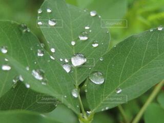 木の葉に水玉の写真・画像素材[4733603]