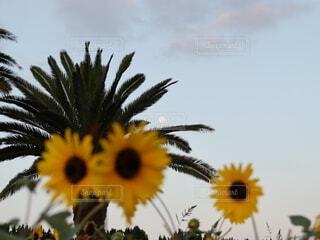自然,風景,空,花,ひまわり,夜明け,向日葵,月,満月,ヤシの木,ひまわり畑