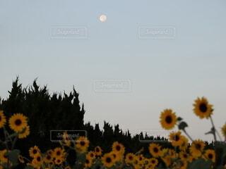 自然,風景,空,花,屋外,ひまわり,夜明け,向日葵,樹木,月,満月,ひまわり畑
