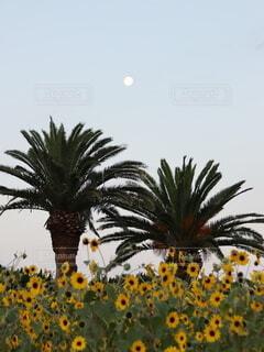 自然,風景,空,花畑,ひまわり,向日葵,樹木,月,満月,ヤシの木,草木