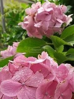 雨上がりのアジサイの写真・画像素材[3417793]