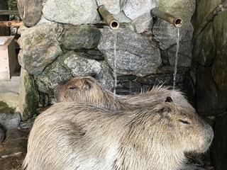 温泉,動物,動物園,カピバラ