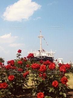 真っ赤な薔薇と船の写真・画像素材[3506695]