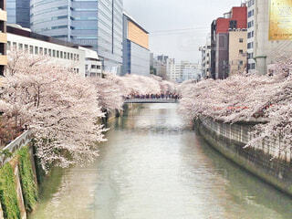 目黒川の満開の桜の風景の写真・画像素材[4282810]