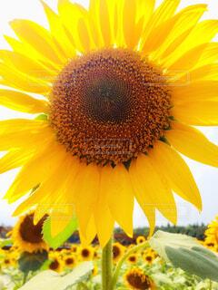 ひまわりの花のクローズアップの写真・画像素材[4298942]