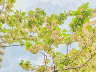 緑色の珍しい桜「御衣黄桜」の写真・画像素材[4302102]
