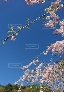 桜の写真・画像素材[3459755]