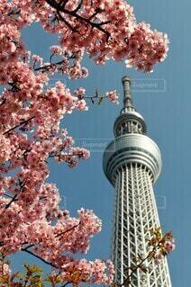 河津桜の写真・画像素材[4259117]