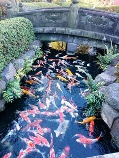 庭園の鯉の写真・画像素材[4379228]