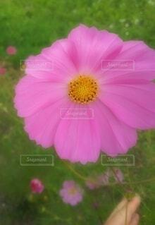 花,ピンク,緑,コスモス,花びら,手持ち,人物,風,ポートレート,秋桜,ライフスタイル,草木,手元,ユラユラ,風がふく