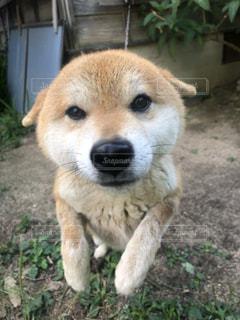 柴犬の子犬の写真・画像素材[3439252]