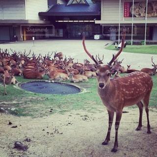 鹿が建物の前に立っているの写真・画像素材[3442009]