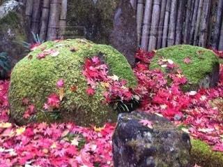 緑の苔と色鮮やかな落ちモミジの写真・画像素材[3466373]