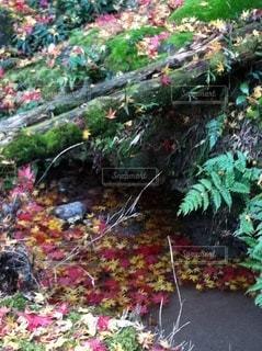 秋、苔と水面上の落ちモミジの写真・画像素材[3466371]