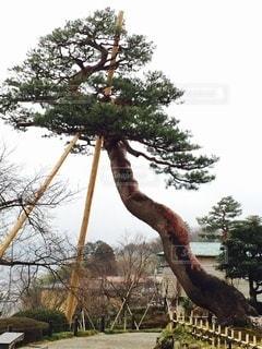 金沢兼六園内で見た美しくて大きな樹木の写真・画像素材[3511152]