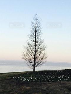 淡路島の海を背景にまっすぐ生える一本の大木のシルエットの写真・画像素材[3511383]