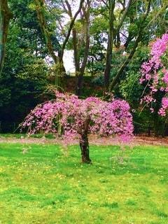 緑の芝生の中、黄色の小さな花々に囲まれた可愛い一本桜の写真・画像素材[3616500]