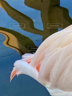 橋の欄干が反射した水面とフラミンゴの美しいピンクの臀部の写真・画像素材[4064008]