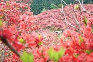 辺り一面、真っ赤な満開の霧島つつじ。中央遠くに喜ぶ人々。の写真・画像素材[4440038]