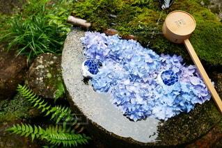 青々とした苔の庭、紫陽花の花手水に2匹の陶器の亀の写真・画像素材[4575591]
