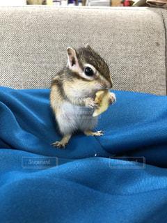 青いクッションに座って、えさを食べるリスの写真・画像素材[3449236]