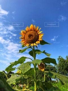 向日葵と青い空の写真・画像素材[3507841]