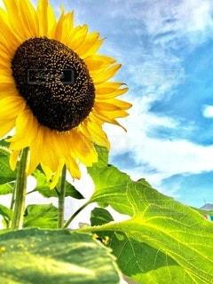 大輪向日葵と青空の写真・画像素材[3512137]