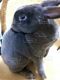 毛繕い中のウサギの写真・画像素材[3513821]
