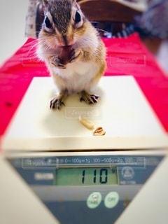 りすの体重測定の写真・画像素材[3527639]