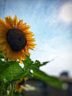 太陽に向かって咲く向日葵の写真・画像素材[3540865]