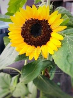 小さい向日葵の写真・画像素材[3549311]