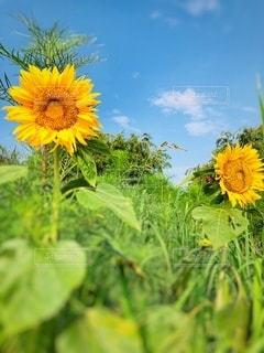 雑草の中の向日葵の写真・画像素材[3549342]