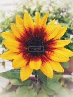 素敵な向日葵の写真・画像素材[3554365]