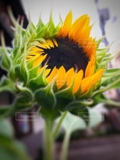 向日葵の蕾の写真・画像素材[3554899]