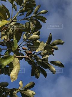 ドングリの木の写真・画像素材[3720509]