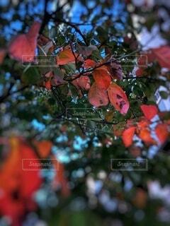 街路樹の紅葉の写真・画像素材[3730240]