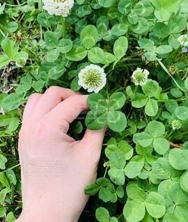 公園,花,屋外,緑,葉っぱ,手,葉,手持ち,人物,クローバー,幸せ,ポートレート,四つ葉,ライフスタイル,四つ葉のクローバー,草木,手元,ガーデン,よつ葉