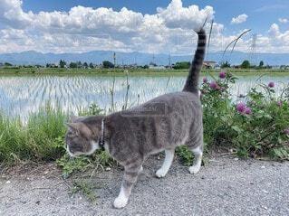 お散歩 猫ちゃんの写真・画像素材[3653436]